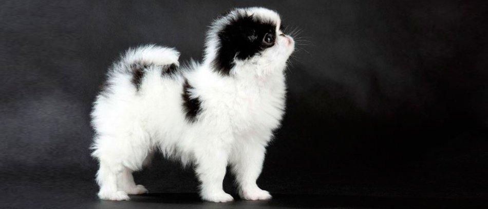 японский хин фото щенки
