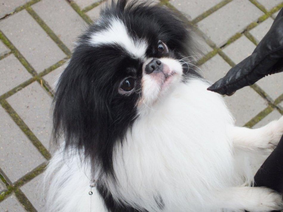 Собака японский хин фото