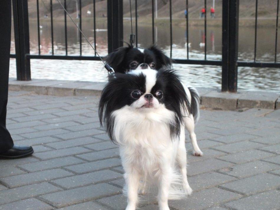 собака породы японский хин отзыв заводчика фото
