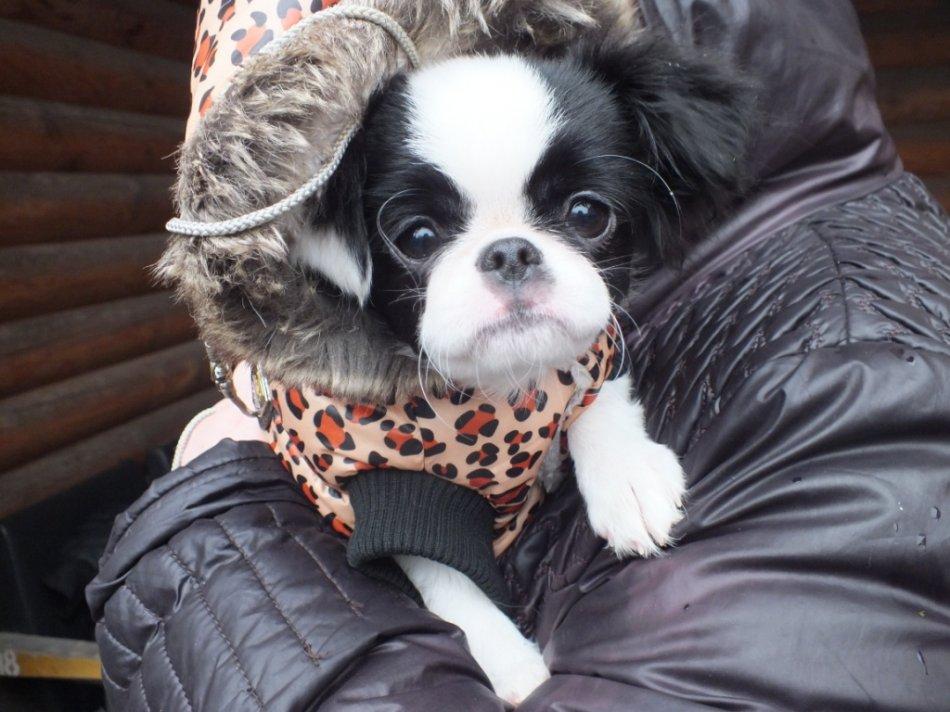 Японский хин порода собак фото