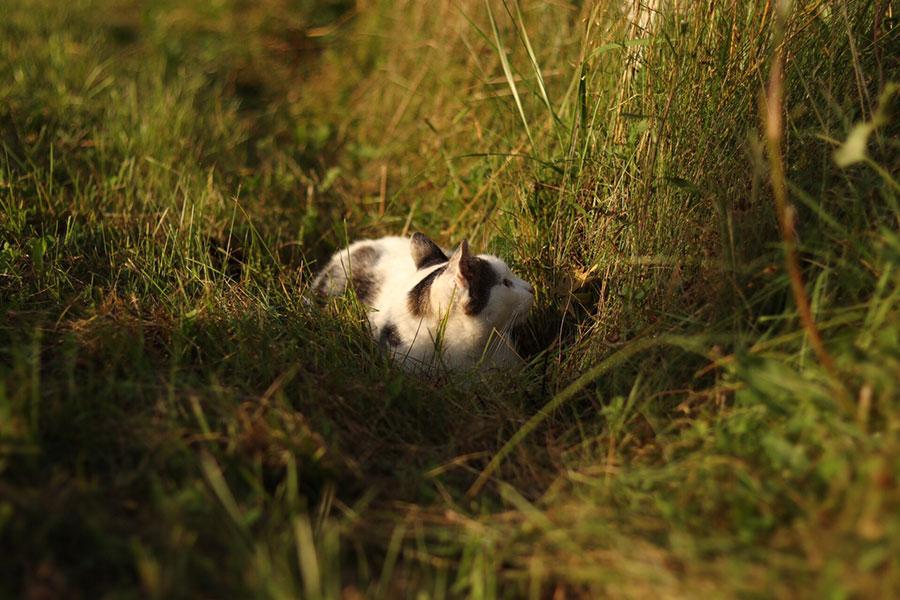 кошка охотится в траве