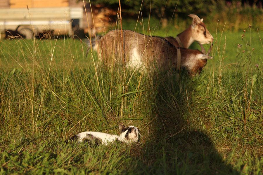 кошка и козы в траве