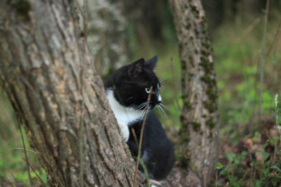 черно-белый кот выглядывает из-за дерева