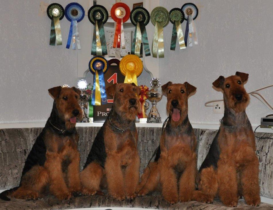 эрдельтерьер порода собак фото