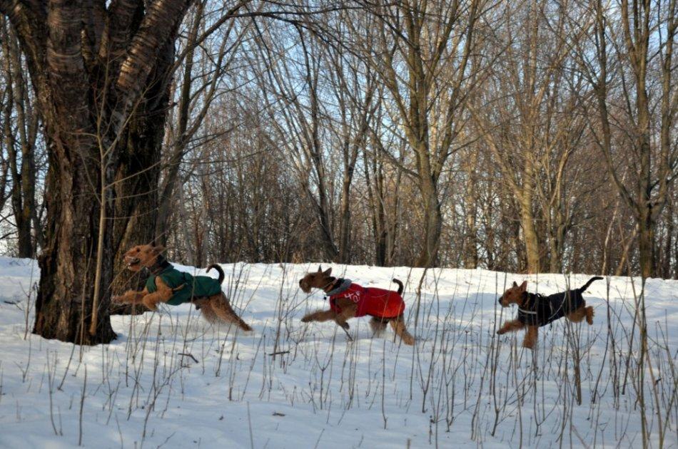 эрдельтерьеры бегут по зимнему лесу фото