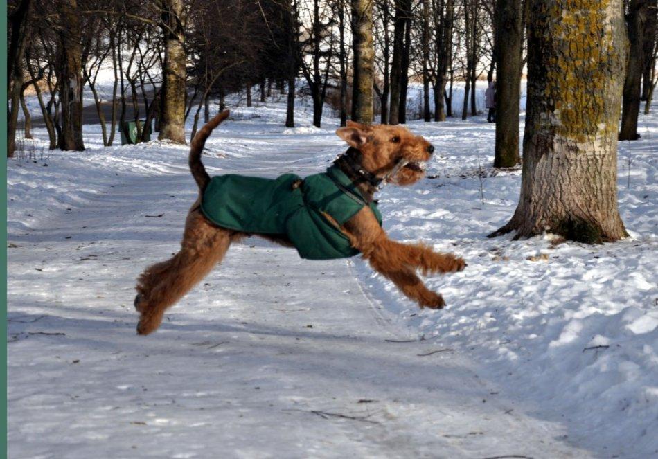 эрдельтерьер бегает по лесу апортирует фото