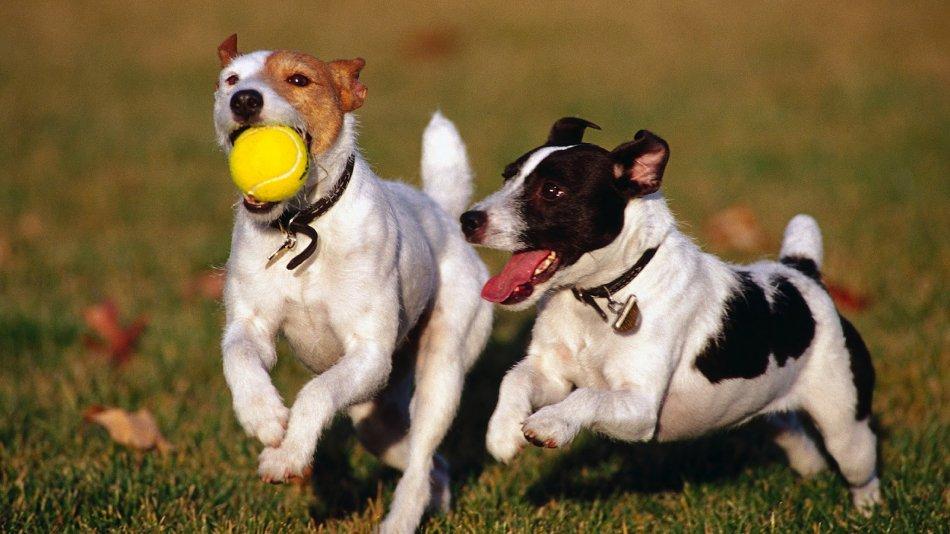 Собаки играют с мячом фото