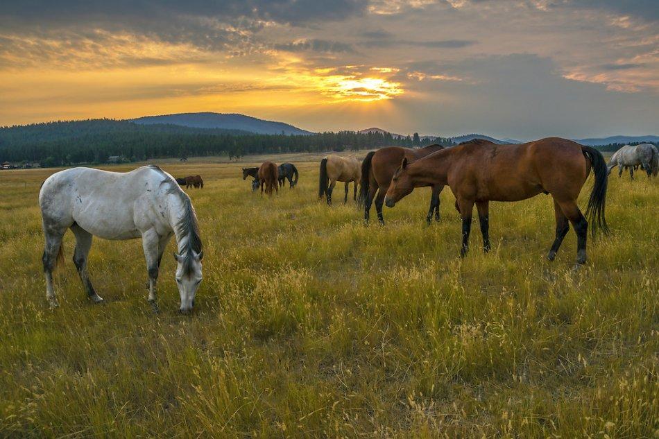 лошади пасутся