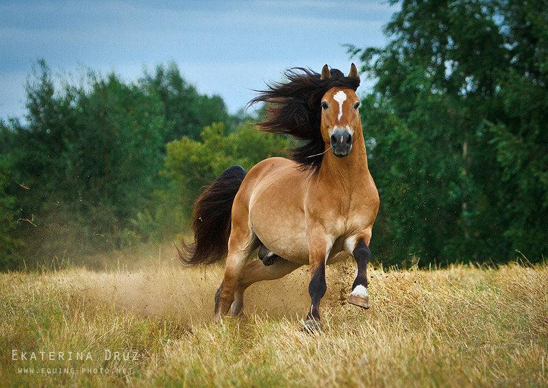 Белорусская упряжная лошадь фото