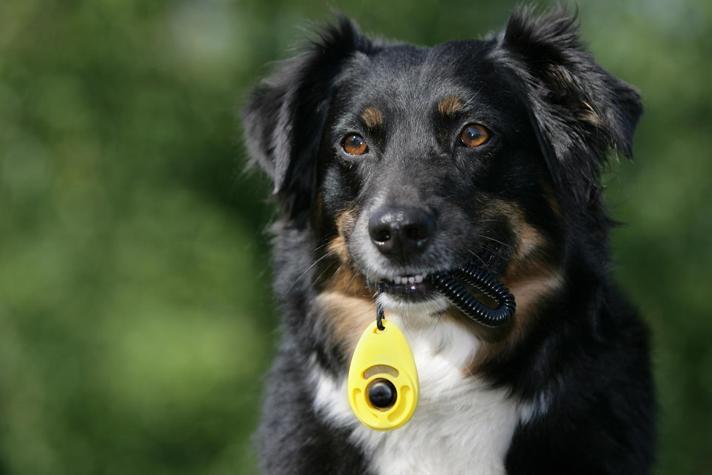 собака держит в зубах кликер