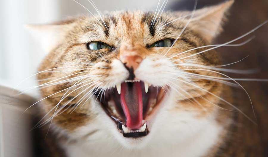 кошка кричит во время течки