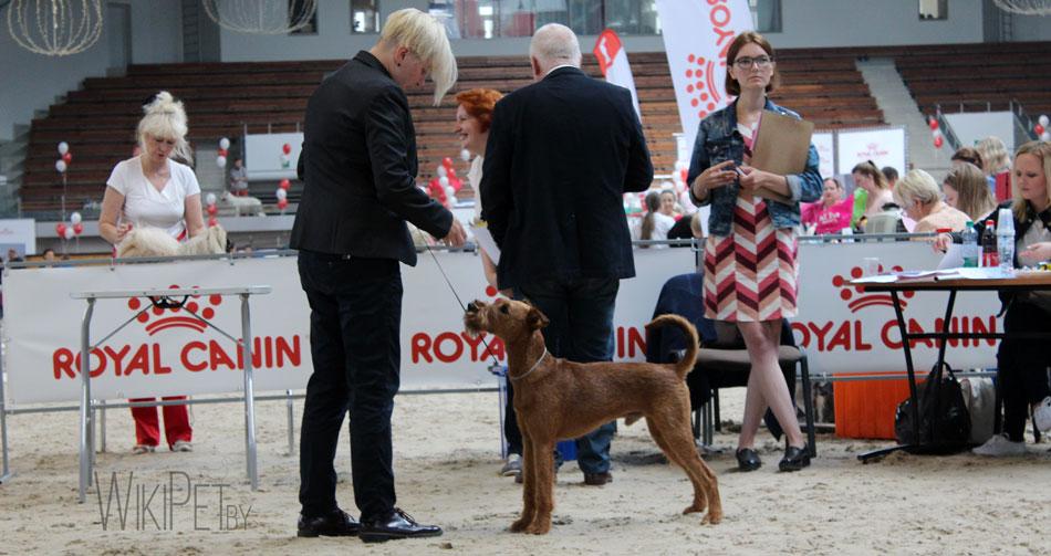 Терьер на выставке собак