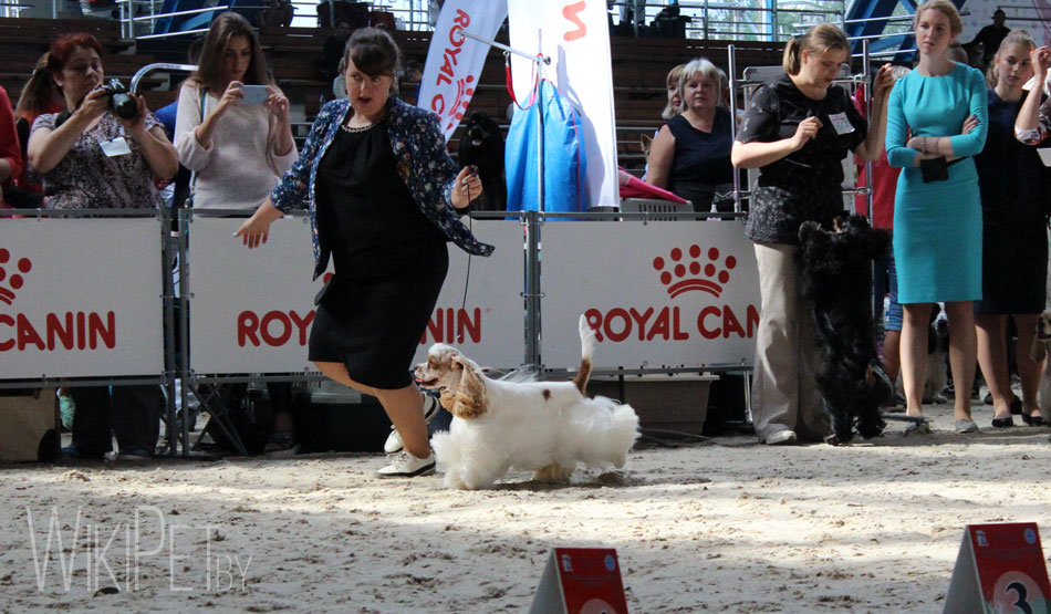 Собака бежит в ринге