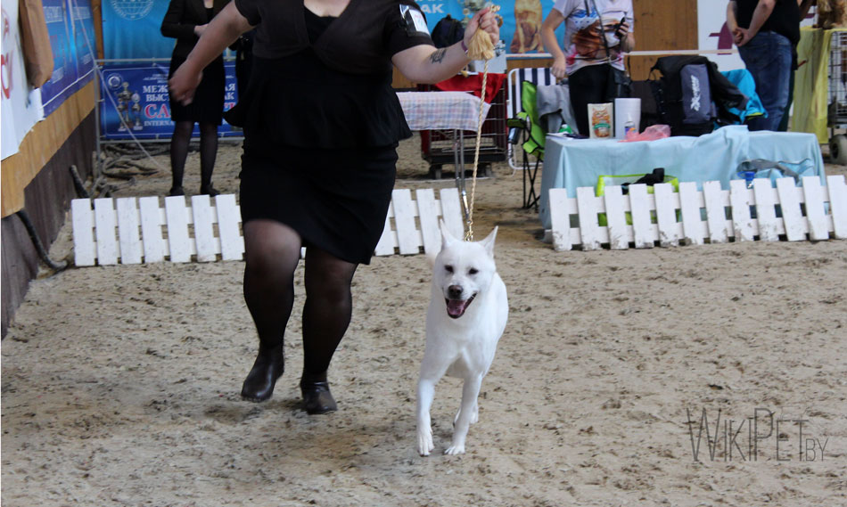 Белая овчарка бежит