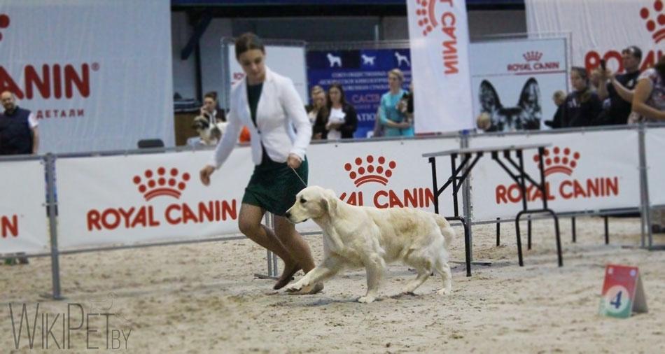 Ретривер на выставке собак