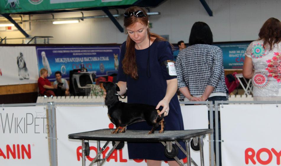Черная такса на выставке собак