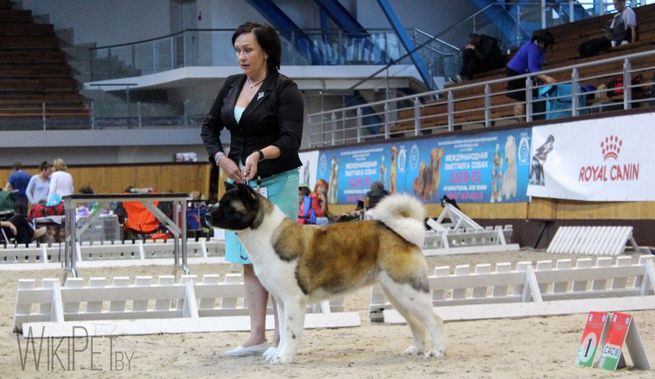 Акита на выставке собак