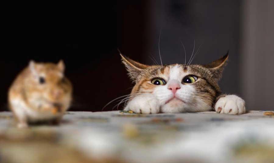 Кошка и хомяк фото