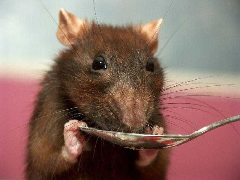 Чем кормить декоративных крыс