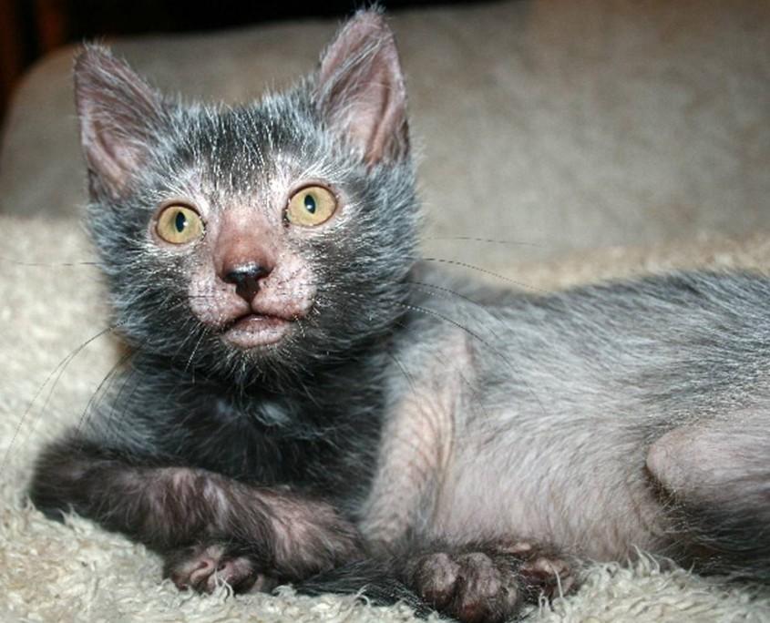 Кошка породы ликои фото