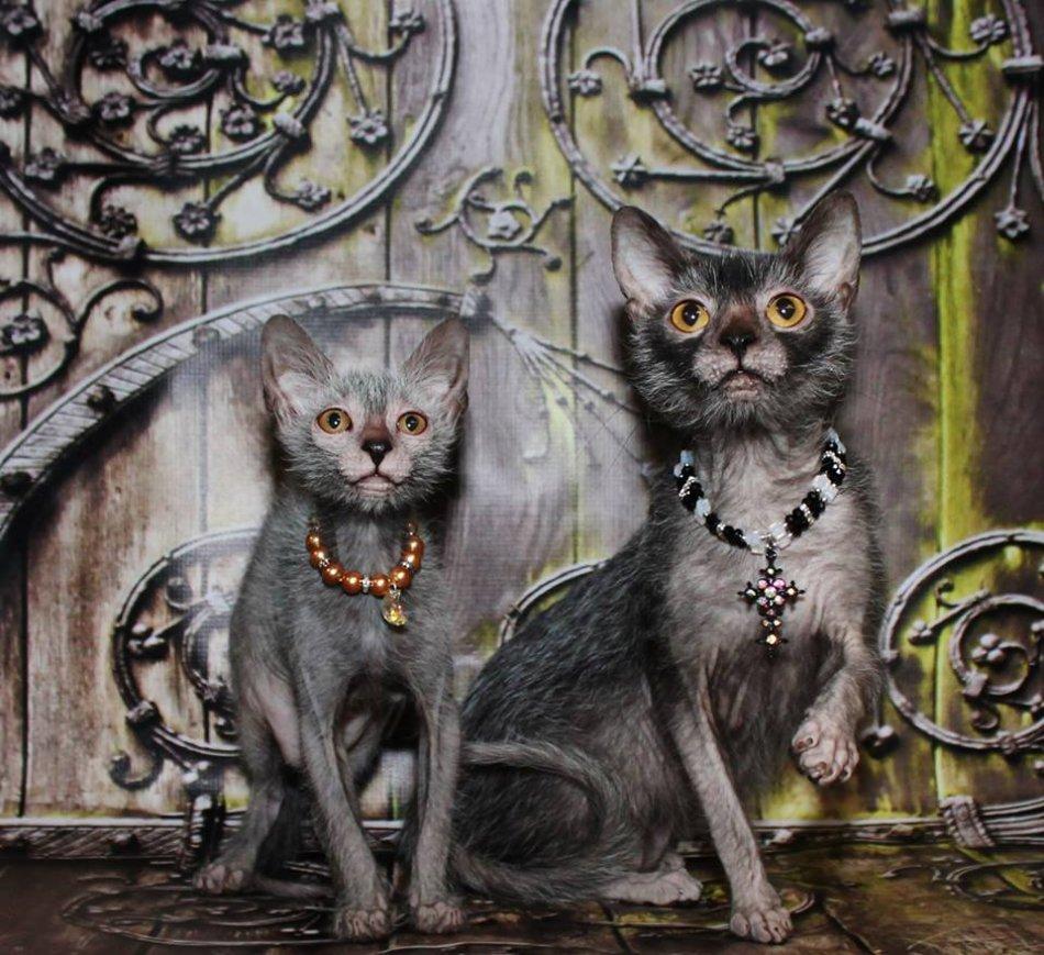 Кошки породы ликои фото