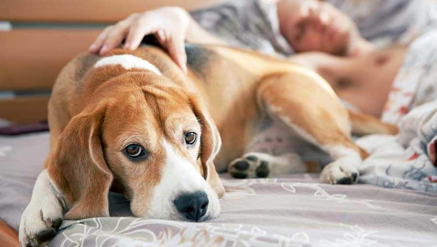 собака спит в постели с хозяином