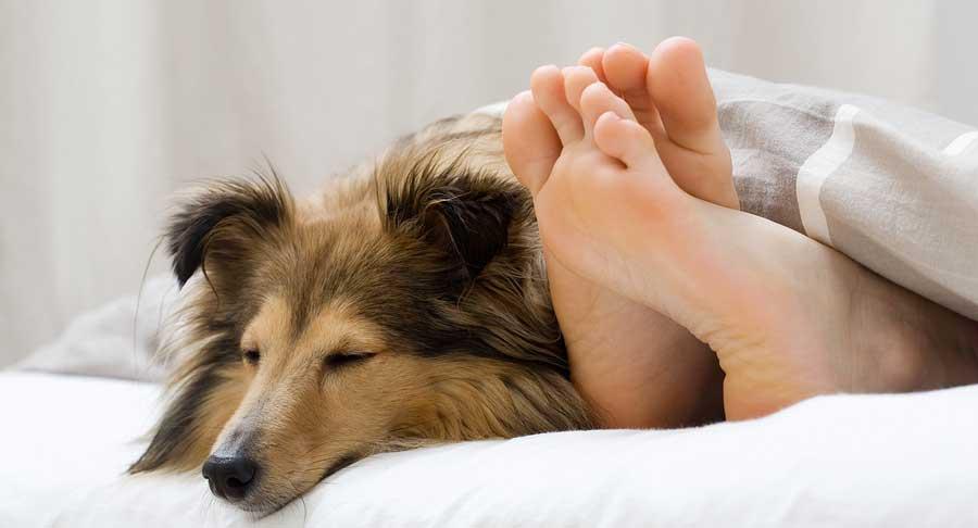 собака в постели хозяина