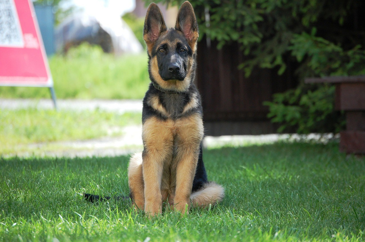 Собака овчарка немецкая картинки, бумаги открытки такса