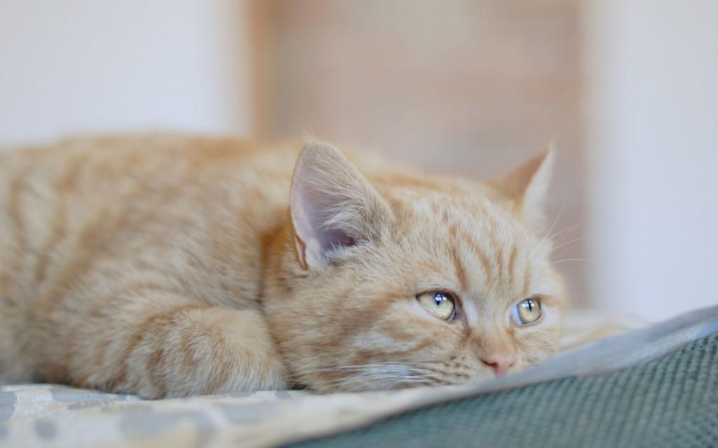 Рак у кошек - симптомы и лечение
