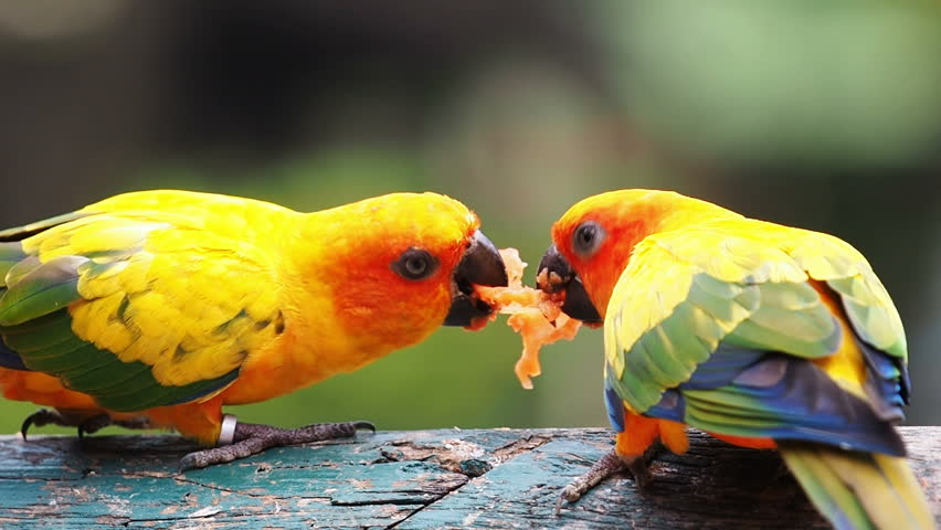 Чем нельзя кормить попугая