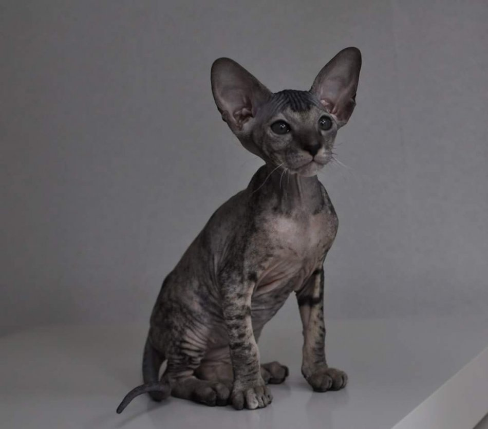 Коты петерболды фото
