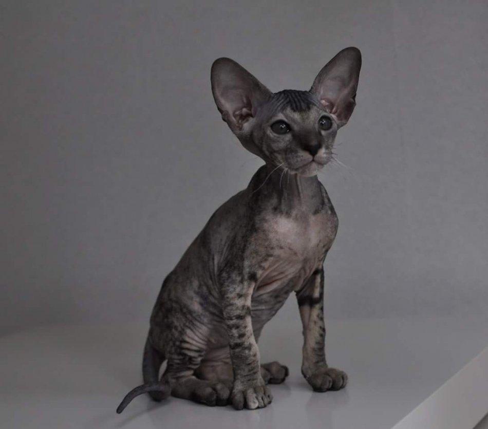 Котенок породы петерболд фото