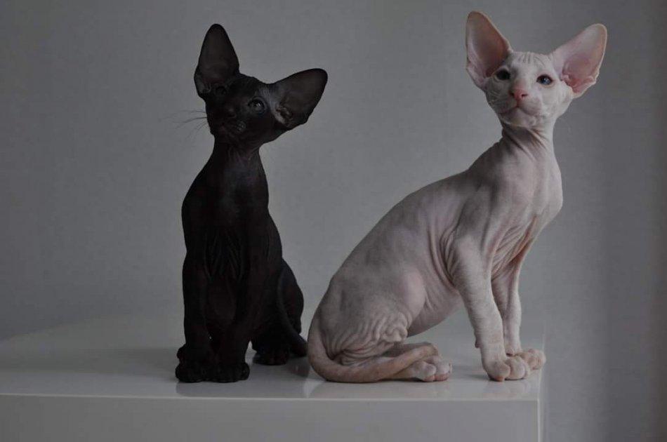 Кошки породы петерболд фото