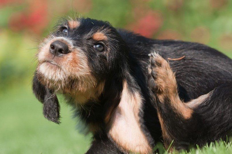 Диагностика бабезиоза у собак