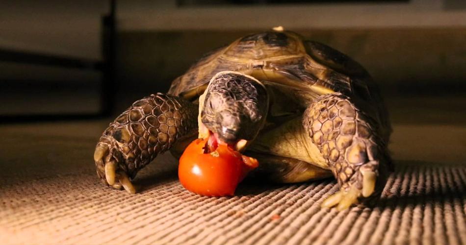 черепаха есть помидор