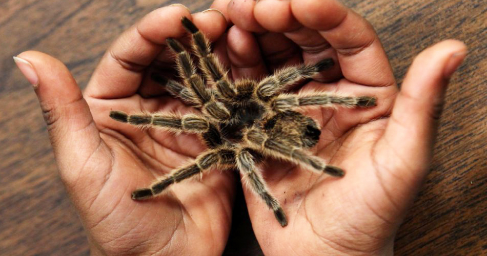 паук тарантул в ладонях