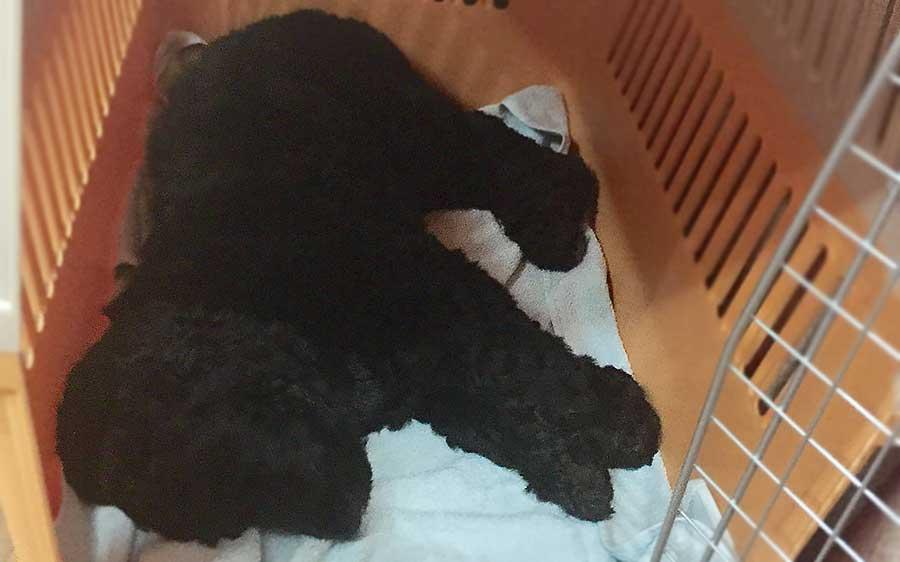 собака лежит в переноске