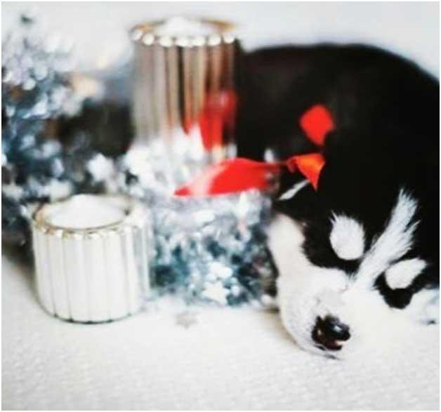 щенок хаски с новогодним декором