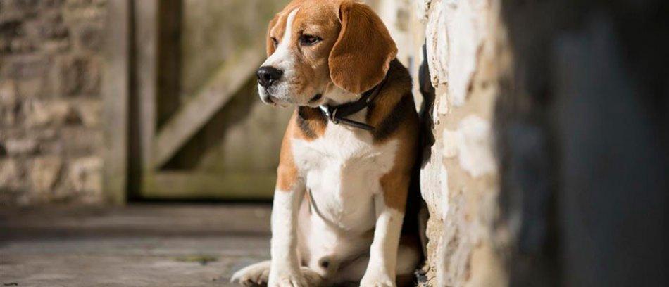Собака породы бигль фото