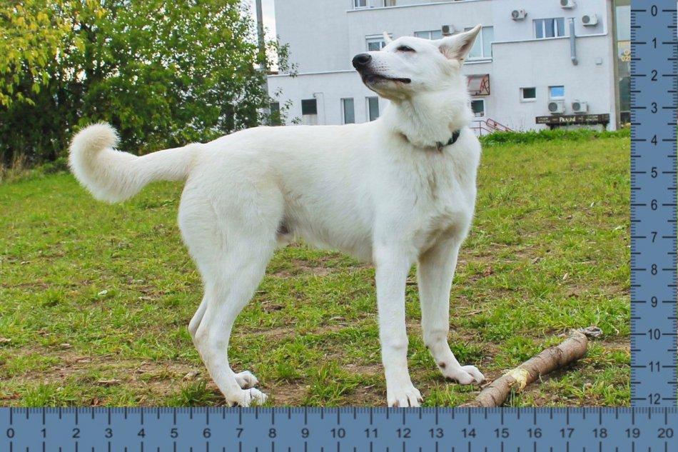 Щенок белой швейцарской овчарки