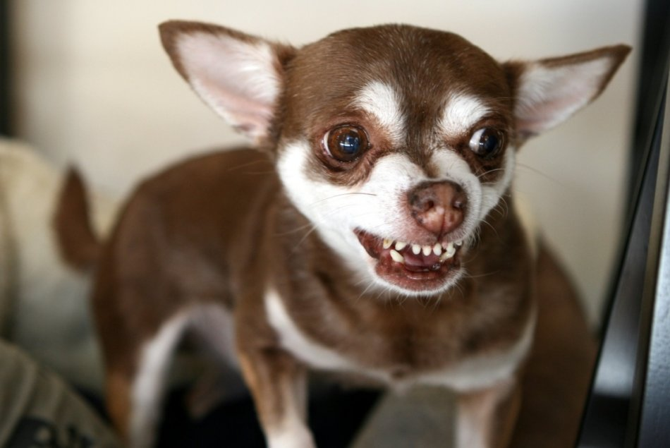 Маленькие собаки кусаются чаще, чем большие