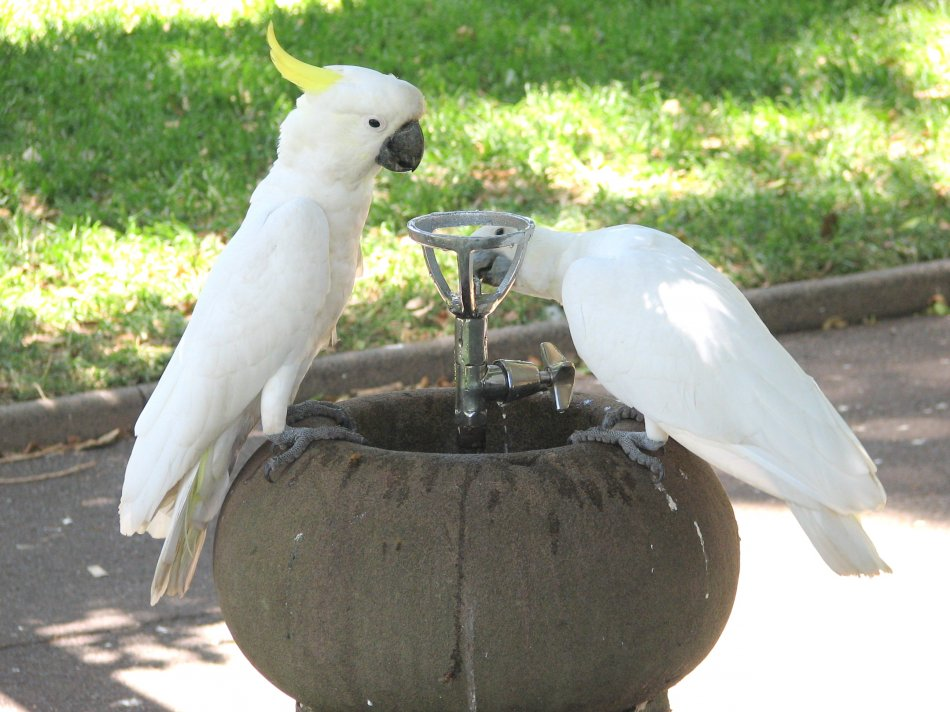 Попугаи-какаду пьют