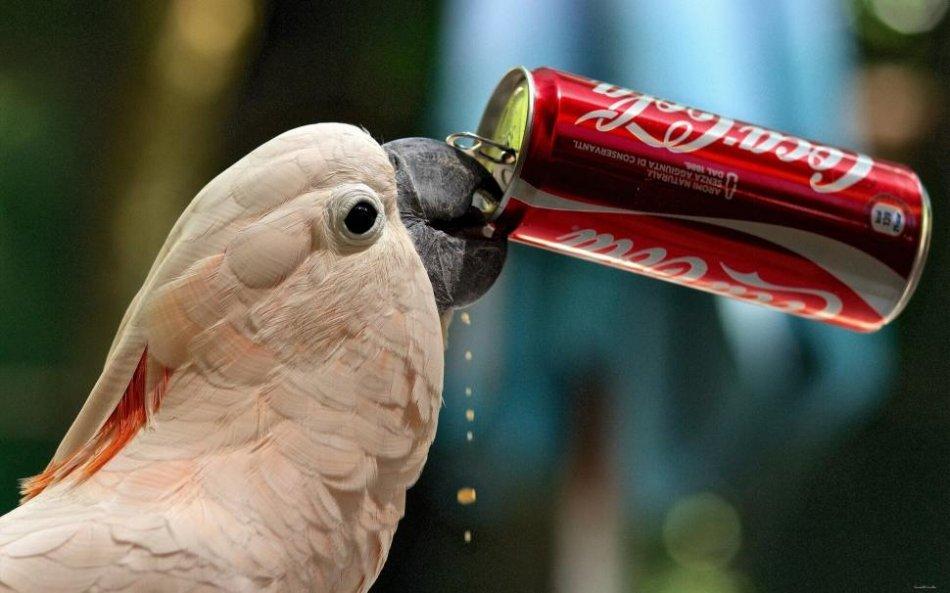 Попугай пьет