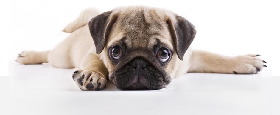 Собака-брахицефал фото