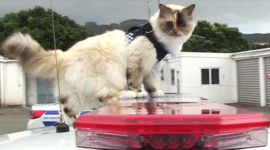 Кошка-полицейский