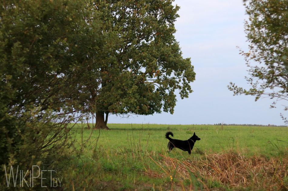 Овчарка