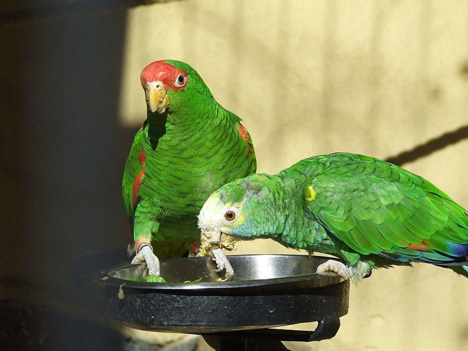 Попугаю необходимы витамины и минеральные подкормки