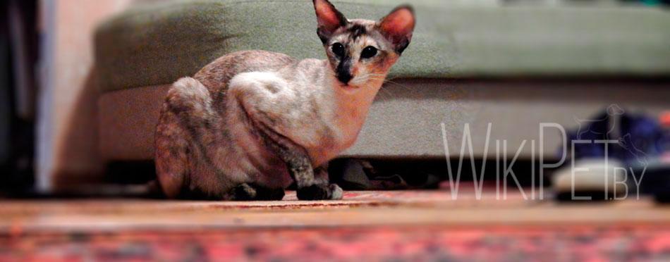 Ориентальная кошка фото