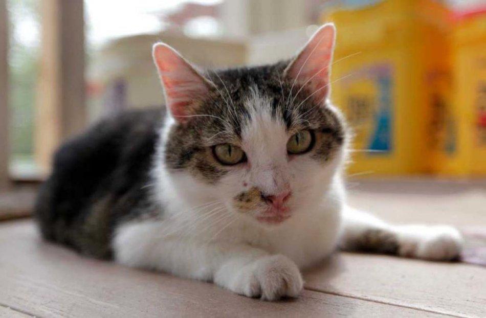Клонированная кошка Сиси