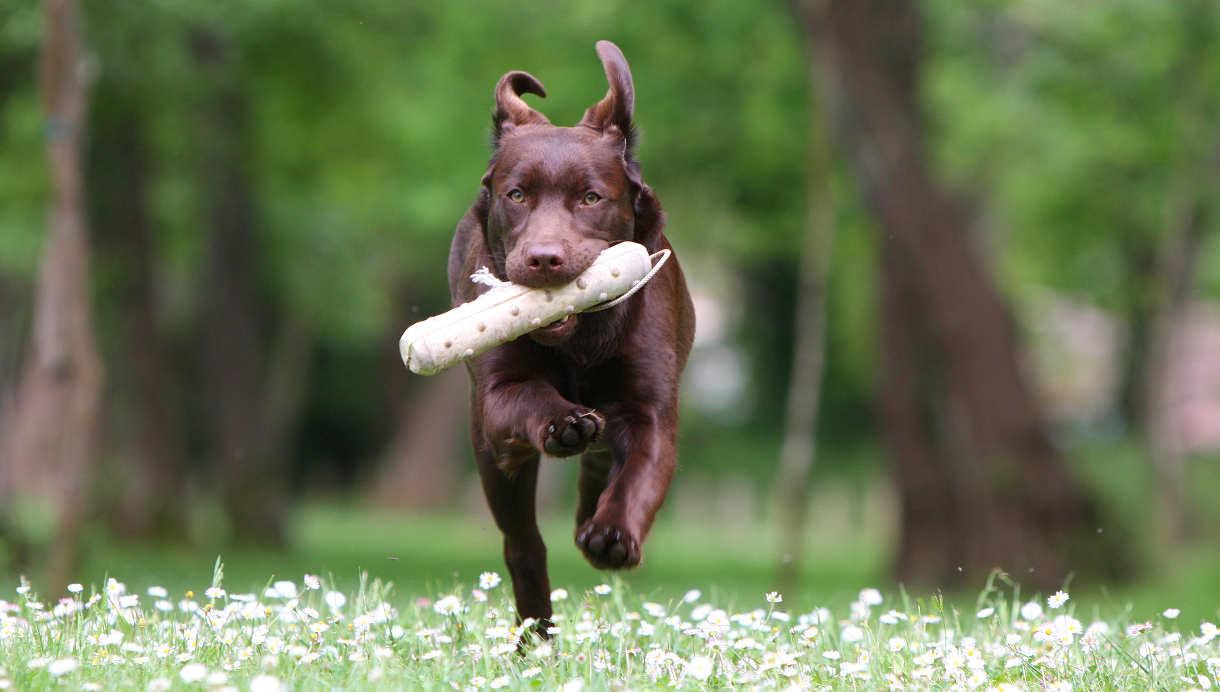 Иксодовые клещи у собак